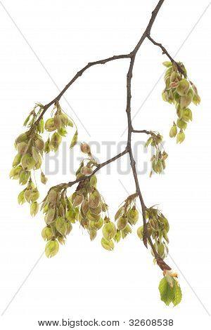 Branch Elm