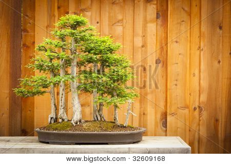 Beautiful Bald Cypress Bonsai Tree Forest Against A Wood Fence.