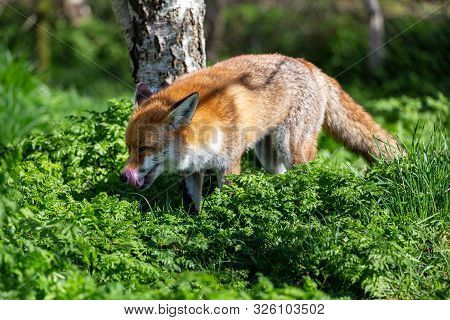 The Red Fox, Vulpes Vulpes, Is The Largest Of The True Foxes