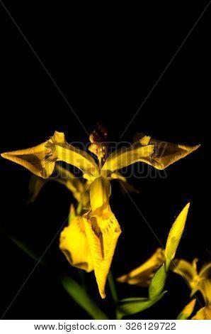 Yellow Wild Iris Flowers Closeup On Black Background