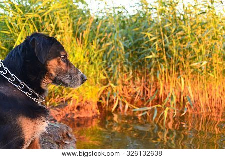Hunting Dog Sits On The Bank Of The Pond And Looks At The Water