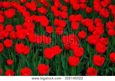 Set Of The Blooming Tulips Background Image