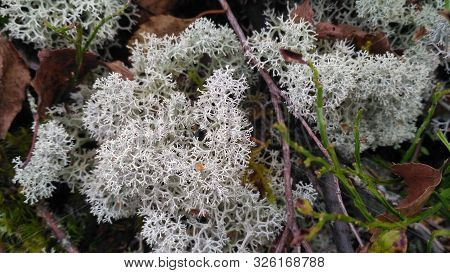Star-tipped Reindeer Lichen. Beautiful Air Moss Grows In A Forest Among Other Forest Vegetation. Cla