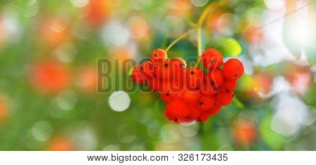 Ripe Orange Berries Of Rowan Close Up. Branch Of Mountain Ash Rowan Tree (sorbus Aucuparia). Soft Fo