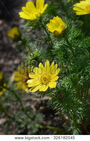 Yellow Pheasants Eye Flower - Latin Name - Adonis Vernalis