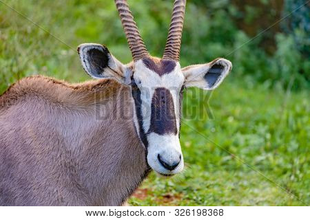 Oryx gazelle grazing in the meadow