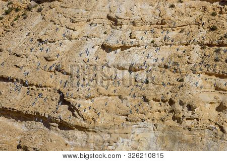 Flock Of Pigeons In The Canyon Ein Avdat In The Negev Desert Of Israel. Traveling In Israel