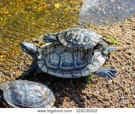 Two Red Eared Terrapin Trachemys Scripta Elegans Turtles Sit On Top Of Each Other. A Small Reptile C