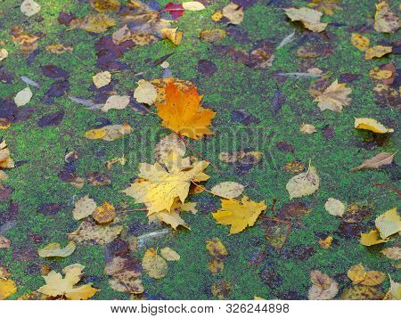 Color Leafs In The Swamp . Colorfull Autumn Background