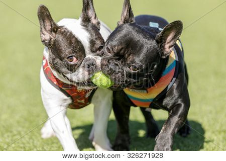 Two French Bulldogs Playing With A Ball. Off-leash Dog Park In Northern California.