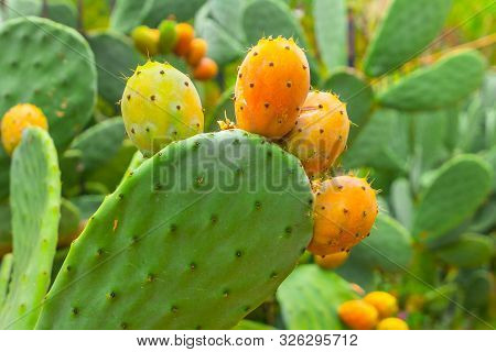 Prickly Pear Cactus With Orange Fruits Close-up