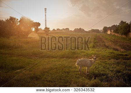 Goat, Alone, Standing In A Meadow, Eating Grass, Under The Rain, At Dusk, With A Sunny Sunset In The