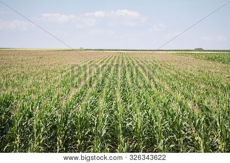 Cornfileds, With Their Typical Rows, Taken On The Plains Of Voivodina, The Most Rural And Agricultur
