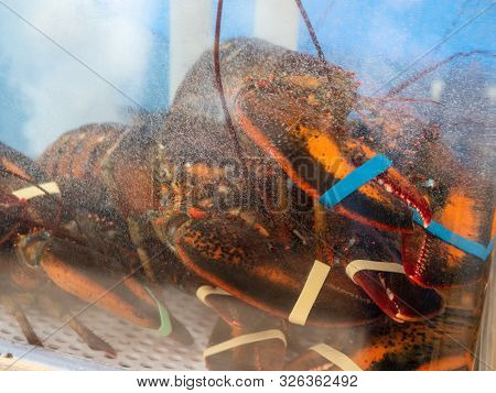 Lobsters Prisoned And Restrained In Crowded Tank In Restaurant Waiting To Be Cooked And Served