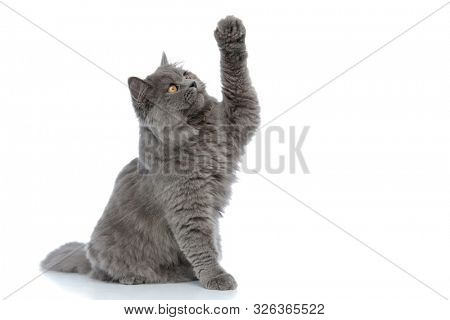 side view of a sweet british longhair cat with gray fur sitting and trying to reach something curious against white studio background