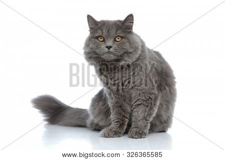 adorable british longhair cat with gray fur sitting without occupation and fed up against white studio background poster