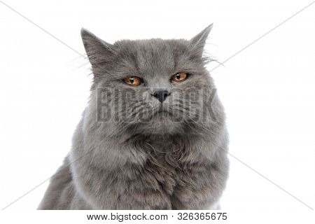 close up of a superb british longhair cat with gray fur sitting and looking at camera with sleepy eyes against white studio background poster