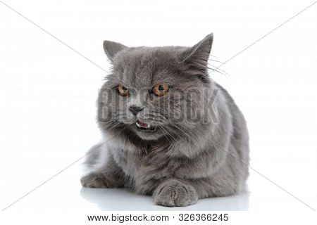 wonderful british longhair cat with gray fur lying down and looking away with open mouth against white studio background poster