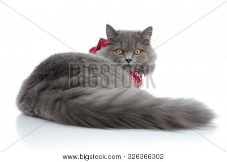 rear view of a lovely british longhair cat with gray fur and red bandana lying down and looking behind serious against white studio background
