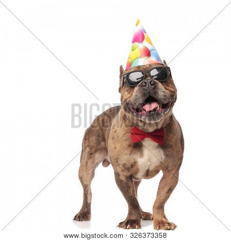 happy american bully wearing birthday hat,bowtie and sunglasses, panting and sticking out tongue, standing isolated on white background