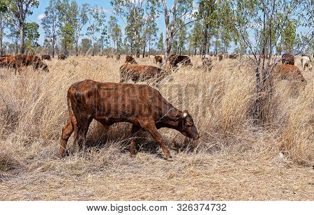A Herd Of Cows As Part Of Cattle Droving In The Australian Countryside, Seen Through A Car Window