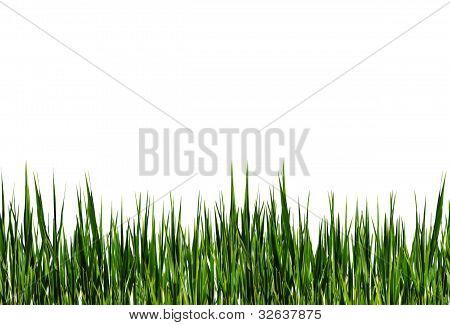 Franja de pasto verde