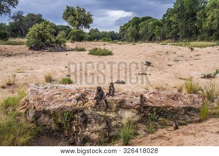Chacma Baboon Group In Riverbank Scenery In Kruger National Park, South Africa ; Specie Papio Ursinu