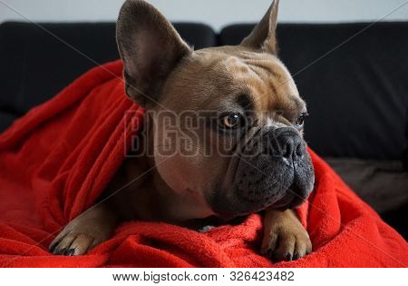 Portrait Of A French Bulldog With Amber Eyes On A Sofa With A Red Plaid.
