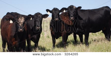 Four Black Angus Cattle