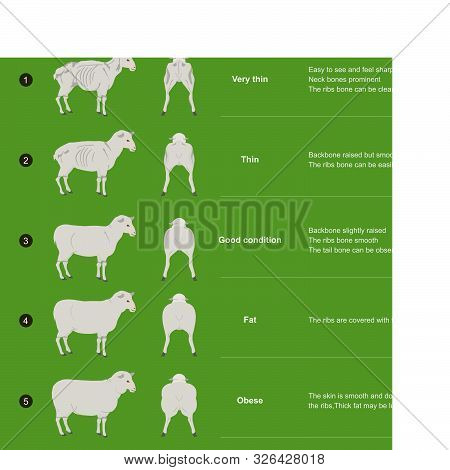 The Scoring Body And Structure Loin Area Of Sheep, By Analysis The Bone Muscle Structure And Fat.