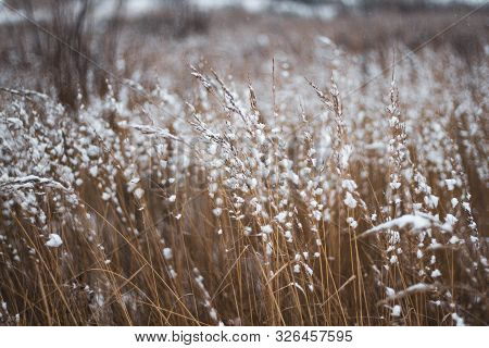 Brown-yellow Dry Grass Covered With White Snow Close-up. Natural Background. Autumn Or Winter Textur