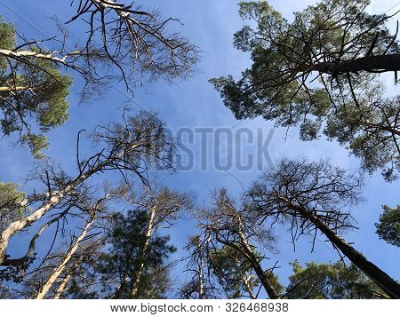 Tall Pine Treetall Dry Pine Trees Against The Blue Sky. The Tops Of Tall Trees In A Pine Forest. Con