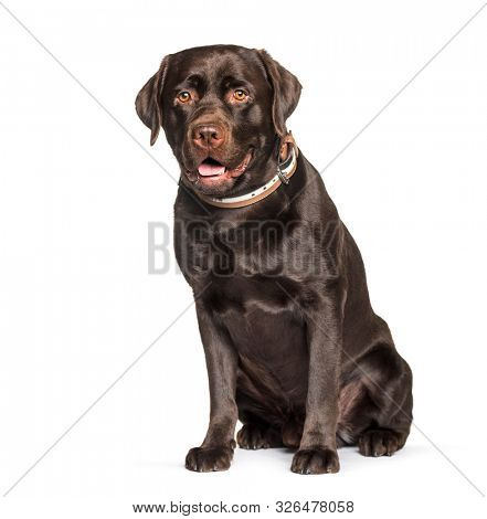 Chocolate Labrador retriever sitting against white background