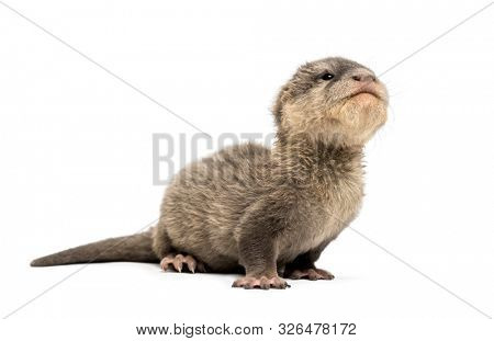 Baby Asian small-clawed otter, Amblonyx cinerea, also known as the oriental small-clawed otter or simply small-clawed otter lying against white background