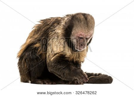 Golden-Bellied Capuchin, Sapajus xanthosternos, also known as the yellow-breasted or buffy-headed capuchin sitting against white background