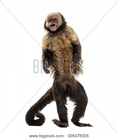 Golden-Bellied Capuchin, Sapajus xanthosternos, also known as the yellow-breasted or buffy-headed capuchin standing against white background