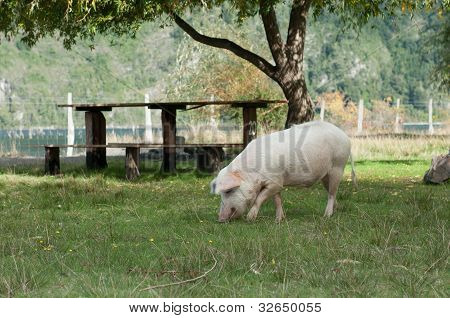 Picnic Table And Pig (2)