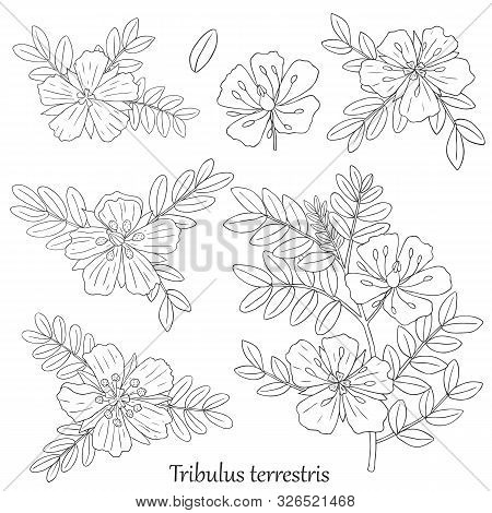 Medicinal Herbs Collection. Vector Hand Drawn Illustration Of A Plant Tribulus Terrestris On A White