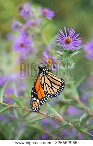 Beautiful monarch butterfly perched on wild flower in the wild
