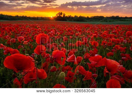 Sunset Over The Meadow Of Magnificent Red Poppies