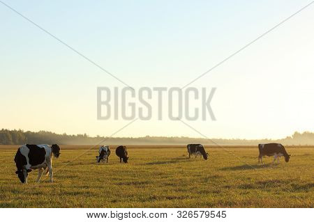 Herd Of Cows Grazing In A Field At Sunset. Cloven-hoofed Animals Dairy