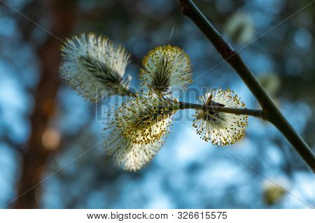 Goat willow catkins, aka the pussy willow or great sallow. poster