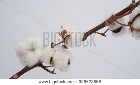 Colse Up Of Cotton Flower On White Background.