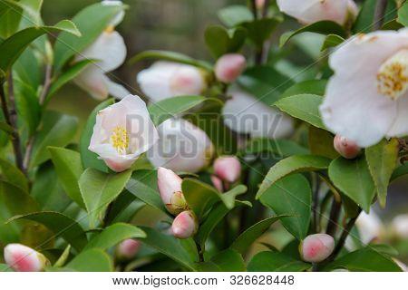 Chaenomeles Speciosa Flower