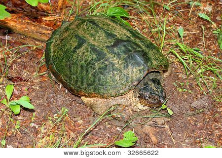 Snapping Turtle In Alabama