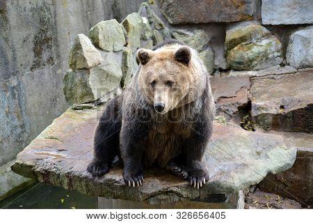 Brown Bear (ursus Arctos Linnaeus) Sits On An Open Ground At The Zoo
