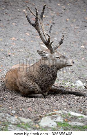 European Noble Deer (cervus Elaphus Linnaeus) Lies On The Ground At The Zoo