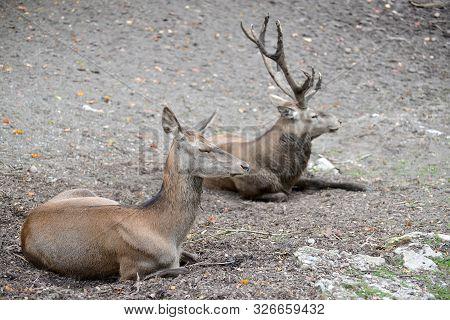 Two European Noble Deer (cervus Elaphus Linnaeus) Lie On The Ground At The Zoo