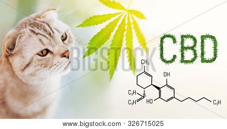 Close Up Portrait Of Purebred Cat Sniffing A Cannabis Leaf On Blurred Background With Cbd Formula. W