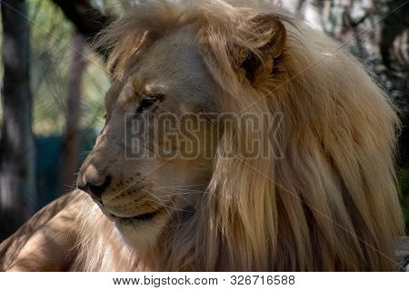Close Up Of A Lion Laying In The Shade